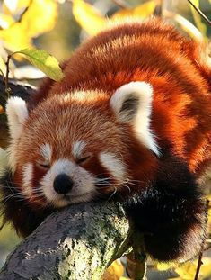 Tryin real hard to sleep. Animals Images, Animal Pictures, Funny Animal Memes, Funny Animals, Cute Baby Animals, Animals And Pets, Red Panda Cute, Merle Australian Shepherd, Cute Creatures