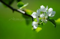 3613 green spring apple  background