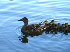 Ducks are one of the things I have a soft spot for! Specially baby ducks. How could you not, seriously?