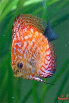 Pretty Discus-want it!!!!!!!!!