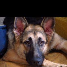 German Shepherd Such a pretty boy. Looks like my Grady