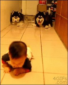 Baby crawling from dogs