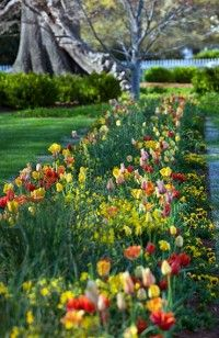 """""""Tulips in the garden, colonial Williamsburg, VA"""" - < I found this at ... http://www.pinterest.com/abingdonwil/revolutionary-city/  . >"""