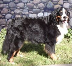 The Bernese Mountain Dog was bred in ancient Switzerland for hauling carts.  It is increasingly popular as a companion pet in Europe & North America.  Some lines were bred for guarding instinct rather than pulling ability in the 1930s so potential owners should check family background for aggression & shoulder lameness.  The Bernese that are more true to their original stock learn obedience easily & are sloppily affectionate but still require an experienced handler.  They are good with…