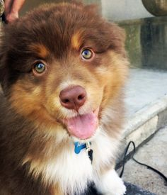 Archie the Australian Shepherd lives in Northern New Jersey. He is a fearless pup who loves to play fetch, romp around with other dogs and dig up the garden (!!). When Archie tires out, he loves to snuggle with his owners and play a good game of tug.