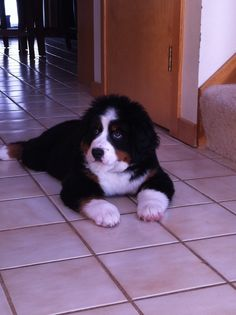 bernese mountain dog<3 Cute Dogs Breeds, Dog Breeds, Big Dogs, I Love Dogs, Bermese Mountain Dog, Cute Puppies, Dogs And Puppies, Entlebucher, Bernese Dog