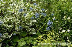 Allium caeruleum vignette