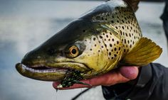 Once anglers achieve success with streamers, they often focus intently on fishing big flies. The reason is simple and well known: big flies catch big fish. There's also a rush that comes with streamer fishing that doesn't come with other brands of fly fishing. Streamer fishing is distinctly different than dry fly fishing and nymphing and in most respects is more dynamic and varied terrain. Unlike these other tactics where following a few basic rules can lead to consistent success, the…