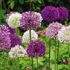 "Impressive spherical blooms, up to 5"" across,  Flower heads of light and deep purple, along with creamy white, last for weeks in the garden. They are spectacular in bouquets and dried arrangements!  Grows 24-36"" tall. 10-12 cm bulbs. Zones 3-9. Not Available in ID, WA. Allium mix Deer tend to avoid. - Form: Bulb Sun Exposure: Partial Shade/Full Sun Height/Habit: 16 - 36"" Spread: 4 - 6"" Spacing: 6 - 10"" Hardiness Zone: 3 - 9 Flowering Date: Late spring to early summer"