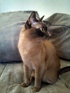 Champagne Burmese Cat- My beautiful girl, Ziggy Stardust. #burmese #cat