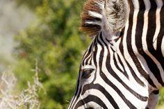 Eye shot of a Burchells Zebra Close up eye shot of a Burchells Zebra.