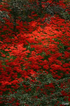 Patch of Red Spider Lily