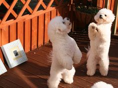 Dancing Bichons by Angell and Breeze Bichon Frise Breeders, Bichon Dog, Havanese Dogs, Cute Baby Dogs, Cute Puppies, Dogs And Puppies, Cute Friends, Dog Friends, Animals And Pets
