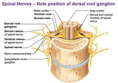 spinal nerves in detail showing dorsal ventral rami rootlets rami communicantes and sympathetic trunk ganglion