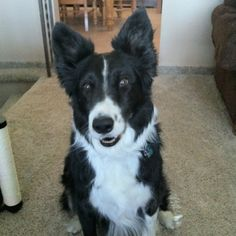 Best looking boarder collie ever