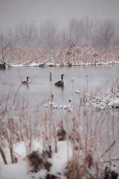 Geese in a winter wonderland! http://naturesdoorways.tumblr.com/post/65952749399/ternpest-via-500px-better-than-winter-by