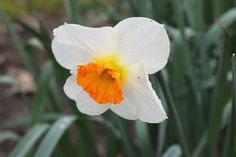 Narcissus 'Barrett Browning' Common Name: Small-Cupped Daffodil Plant Story: A popular award-winning cultivar, Narcissus 'Barrett Browning' features white overlapping petals surrounding an orange cup in mid-spring. Deer and rabbit resistant. Type: Bulb Perennial Bloom Season: Spring Flower Color: White,Orange Planting Zone: 3-9 Click to learn more.