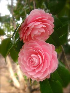 Villa Garden Design Most beautiful pink flowers in the world - Camellia Flower