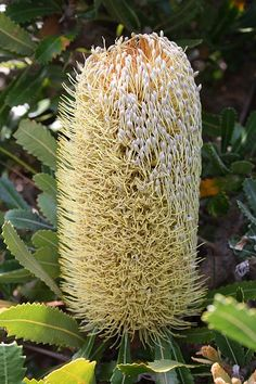 Saw Banksia (Banksia) ~ Another Banksia plant with unique flower is the Banksia serrata. This plant is commonly known as Old Man Banksia, Saw-tooth Banksia and Red Honeysuckle. This plant is endemic to Australia. Strange Flowers, Unusual Flowers, Unusual Plants, Rare Flowers, Exotic Plants, Amazing Flowers, Australian Native Garden, Australian Native Flowers, Australian Plants