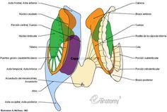 Núcleos basales y estructuras relacionadas : Núcleo caudado, Cabeza, Cuerpo, Cola, Núcleo lenticular, Cápsula interna, Puentes grises caudolenticulares, Brazo anterior, Radiación talámica anterior, Fibras frontopontinas, Rodilla de la cápsula interna, Fibras corticonudeares, Brazo posterior, Radiación talámica central, Tálamo