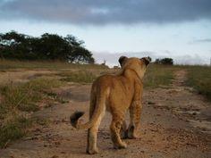 Ruvubu and Rusizi stalking impala