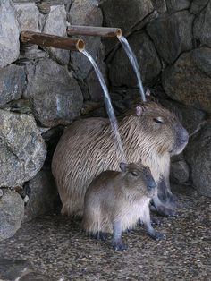 """Bathing Capybara!"""