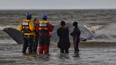 Despite efforts of rescue groups in getting back the stranded Sperm whale on Hunstanton beach, it died. Because of its massive weight, they cannot move the whale.