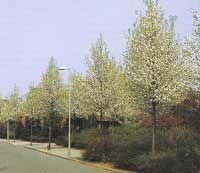 De sierpeer is een slanke boom met frisgroen blad tot laat in het najaar, en hij bloeit overdadig in het voorjaar.