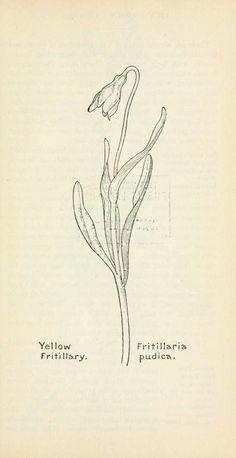 Field book of western wild flowers Plant Illustration, Botanical Illustration, Botanical Drawings, Botanical Prints, Western Wild, Dot Tattoos, Botanical Flowers, Flower Art, Embroidery Patterns