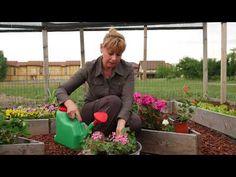 (26) Îngrijirea muscatelor vara - YouTube