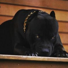 Dogs And Puppies Pitbull Beautiful 31 Ideas For 2019 Pitbull Noir, Bully Pitbull, Pitbull Terrier, Bull Terriers, Big Dogs, Cute Dogs, Dogs And Puppies, Black Pitbull Puppies, All Black Pitbull