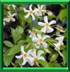 Jasmin étoilé ou trachelospermum jasminoides, fiche technique complète