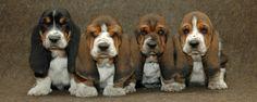 Resultado de imagen para basset hound puppy