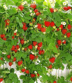 Hänge-Erdbeere 'Hummi®'