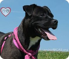 Meet Sarah D-60694, a dog for adoption. You might think the circus came to town when you meet Sarah! She's a bit of a clown this playful girl. She'll roll over and take all the belly rubs you can give too. Sarah was found in Mt. Holly, but she must have had a home because she seems house trained and leash trained. Sarah will get on well with kids and other dogs. She loves a good walk so an active home is on her wish list. Please do come and meet Sarah today!