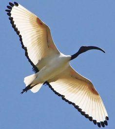 Ibis in the air!  Wow!!!