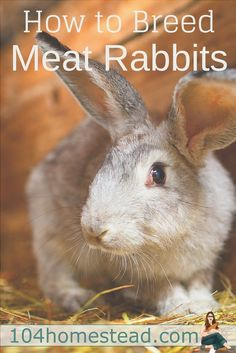 Breeding meat rabbits is very easy, and a great way to have a continual supply of fresh, lean meat! For non-traditional and suburban homesteaders, most ordinances allow you to keep rabbits.