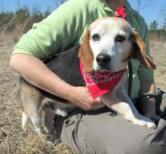 This is the story of the fickle fate of fearless Fred. On Valentine's Day, Fred was picked up as a stray by animal control. A Beagle mix estimated to be four years old, Fred was taken to the Darlington County Humane Society shelter in South Carolina. Twice Fred had local adopter interest, but neither panned out. At last, a rescue agreed to take him. However, when Fred went to the vet, it was determined that he was not four, but more like eight.
