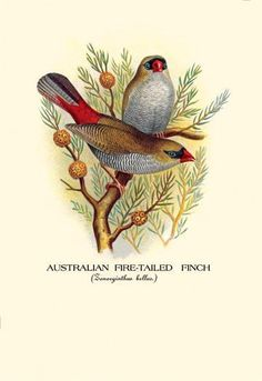 Australian Fire-Tailed Finch 28x42 Giclee on Canvas