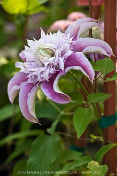 Josephine clematis ( Clematis 'Josephine') a large lavender and white double flowered clematis