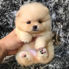 Teddy Bear teacup Pomeranian - - Do you llove own a Living teddy bear ? Here are cutest Teddy Bear Dog breeds you ever see. Find interesting facts and information about teddy bear dogs. Bear Dog Breed, Teddy Bear Dog, Bear Dogs, Cute Teddy Bears, Cute Pomeranian, Pomeranian Puppies For Free, Teddy Bear Pomeranian, Shitzu Puppies, Lab Puppies