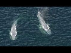 ▶ BBC Planet Earth (Blue whale) - YouTube