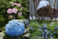 Hortenzie velkolistá (Hydrangea macrophylla) řez Hydrangea, Plants, Lawn And Garden, Hydrangeas, Plant, Hydrangea Macrophylla, Planets