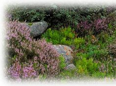 heath mixed with perennials | signs of low impact: few long shoots browsed, vigorous growth forms