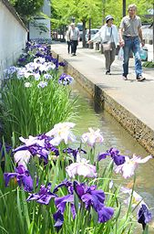 山陰中央新報社|津和野ハナショウブ見頃 初夏の城下町 白、紫涼やか
