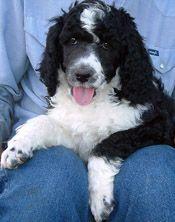 Parti standard poodle puppy