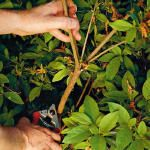 Summer Care for azaleas -- First, finish your pruning by late June, prune 12 to 18 inches of growth, always cutting back to a bud or another branch, treat for lacewings