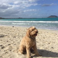 Make your Monday marvelous #labradoodle #beachdog