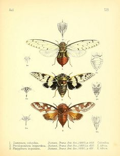 scientificillustration:  Cicadas by BioDivLibrary on Flickr. Aid to the identification of insectsLondon :E.W. Janson,1880-90..biodiversitylibrary.org/page/7673341