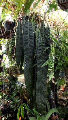 Anthurium-wendlingeri-